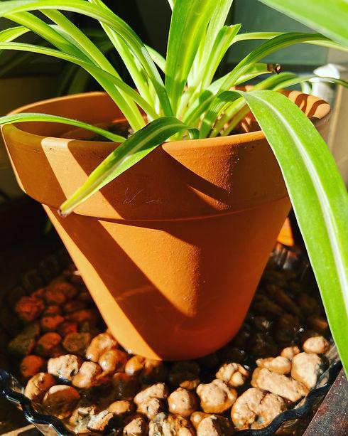 Spider Plant on Leca.JPG