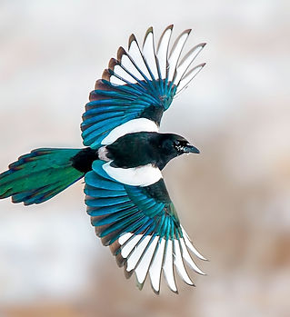 apa_2016-p1_1428_1_black-billed-magpie_a