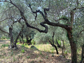 Les oliviers de la Ligurie