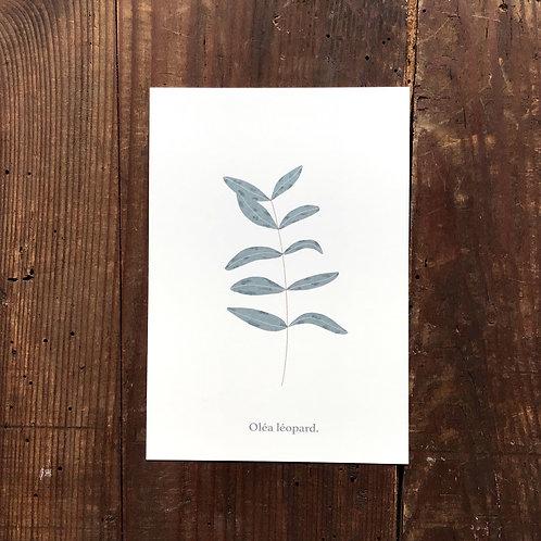 Carte postale Olivier