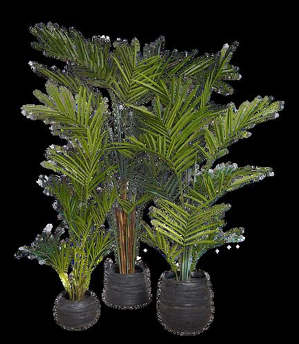 Kentia Palm 300cm