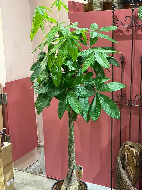 Pachira Aquatica  diamètre 30 Hauteur 160 cm
