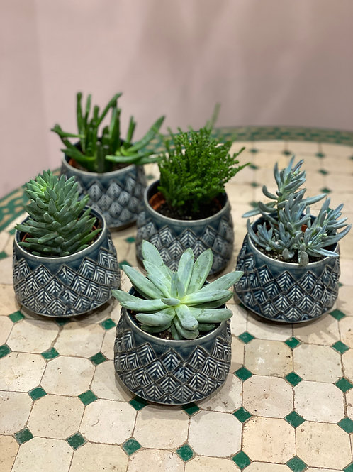 Plantes grasses variées avec pot 11cm
