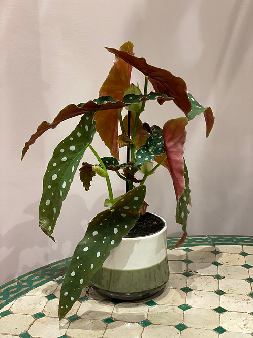 Begonia Maculata diamètre 12cm Hauteur 30cm