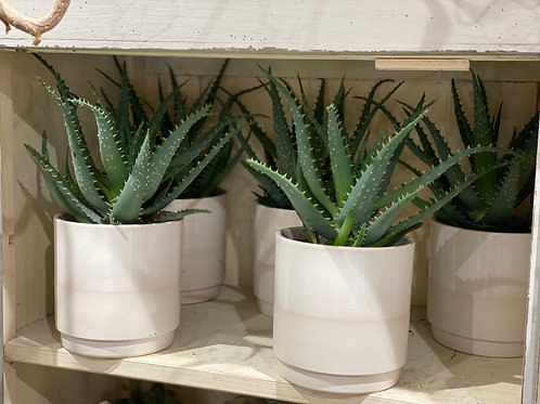Aloe Arborescens avec pot