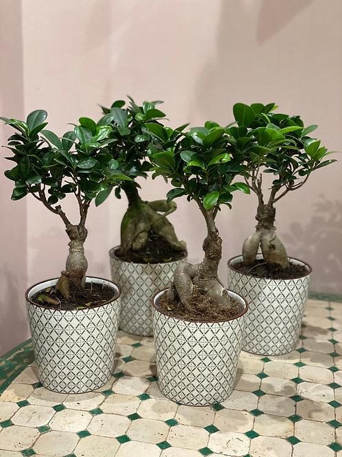 Ficus Ginseng Diamètre 12cm Hauteur 30cm