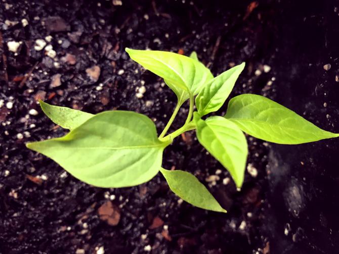 Growth | Recipe Oakcliff
