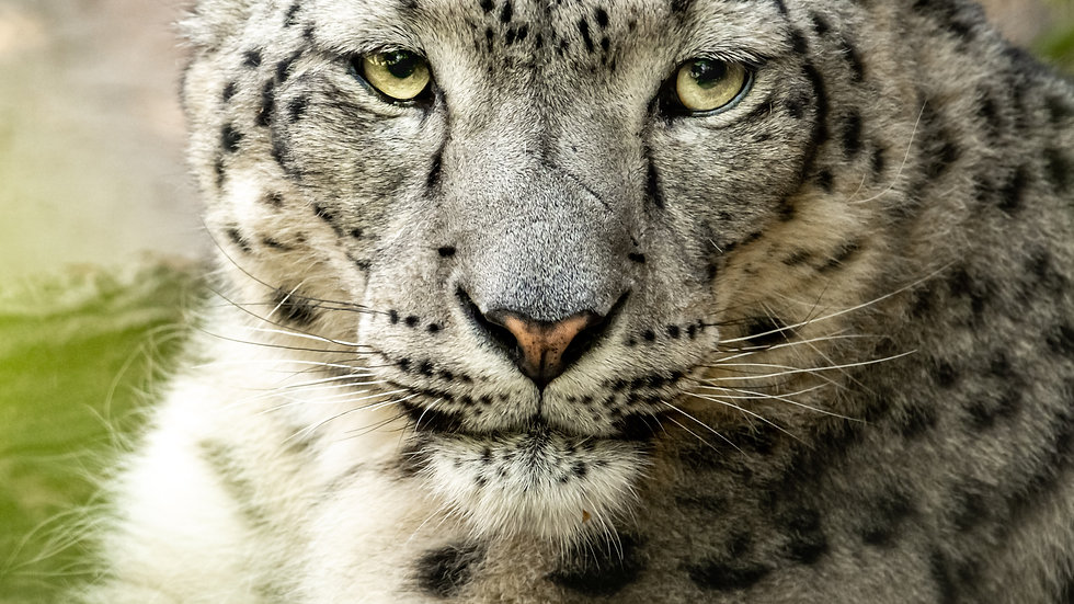 Snow Leopard - Personal Use