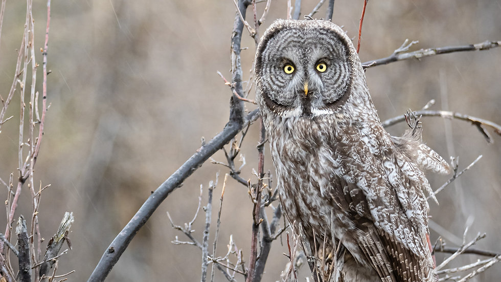 Great Gray Owl - Personal Use