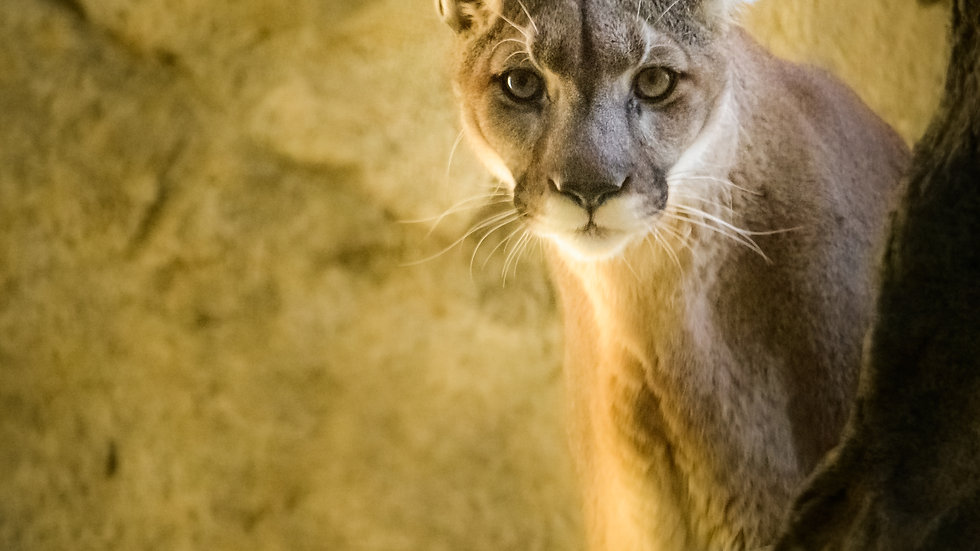 Cougar in the Rocks - Personal Use