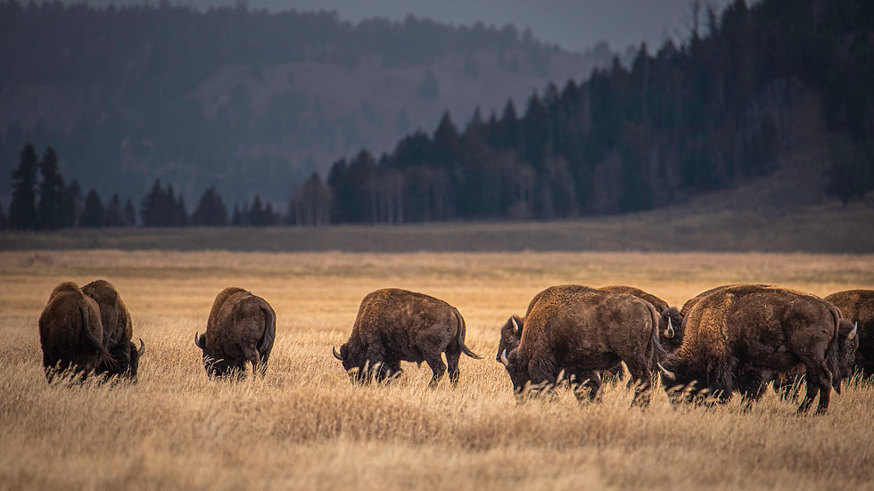 Bison on the Move - Personal Use