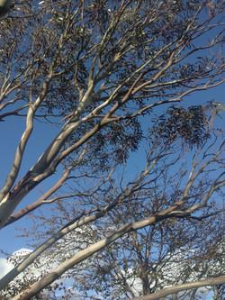 Established Eucalyptus