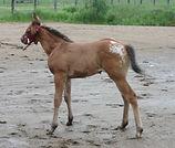 Lady Shelby Again, pouliche Appalosa vendue par le Loosa Ranch
