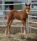 Wap Texan Justice, poulain Appalosa vendu par le Loosa Ranch