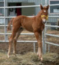 Wap Texan Justice, un poulain Appaloosa vendu par le Loosa-Ranch