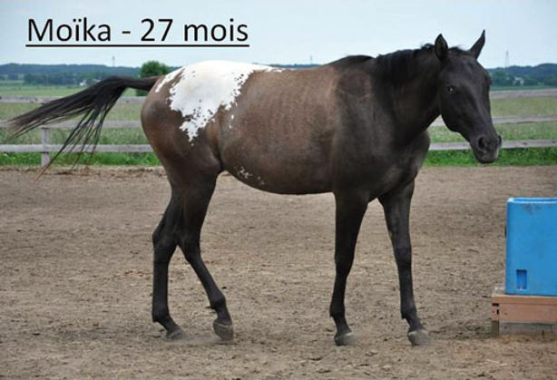 Go Wap Moïka, une pouliche Appaloosa vendue par le Loosa-Ranch