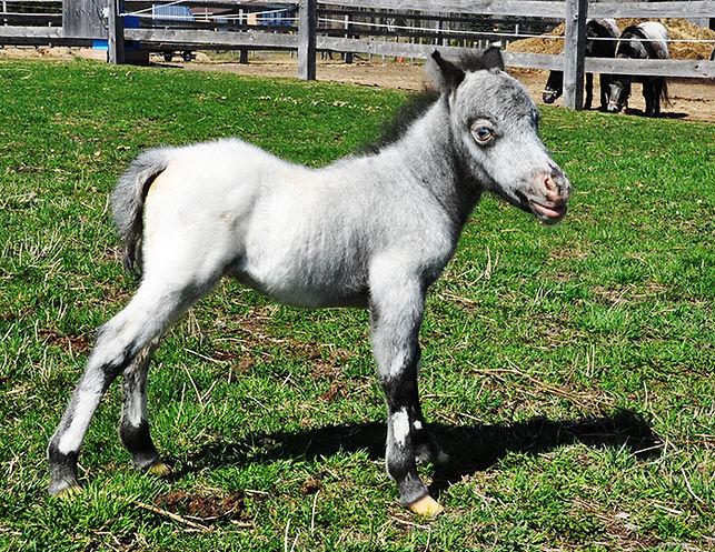 Loosa Ranch Spike, un poulain miniature à vendre au Loosa-Ranch