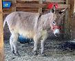 Pipo, père de l'ânon Roméo