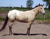 Lola Sept, jument Appalosa vendue par le Loosa-Ranch