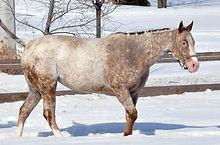 Go With The Flo, jument Appalosa vendue par le Loosa Ranch