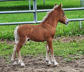 Poulain Miniature à naître au Loosa-Ranch en 2015
