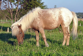 Saphira Hobby Mini Ranch, jument Miniature Appaloosa du Loosa-Ranch