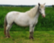 Healing Springs Star Blazer, une jument miniature Appaloosa du Loosa-Ranch
