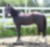 Top Blast Moon, pouliche Appaloosa vendue par le Loosa Ranch