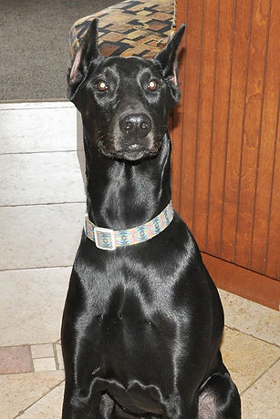 Loosa-Ranch Black Ivy Poison, une chienne reproductrice Doberman Pinscher du Loosa-Ranch