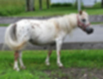 Sarabeaus Willow, une jument appaloosa miniature du Loosa-Ranch