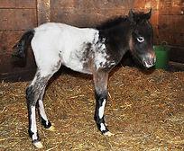 Loosa-Ranch Manzanilla une pouliche née au Loosa-Ranch