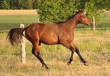 Nex-Wild-N-Bully, pouliche Qarter Horse Bai du Loosa Ranch