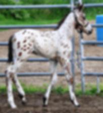 Z-Rock Gotta, un poulain Appaloosa vendu par le Loosa-Ranch