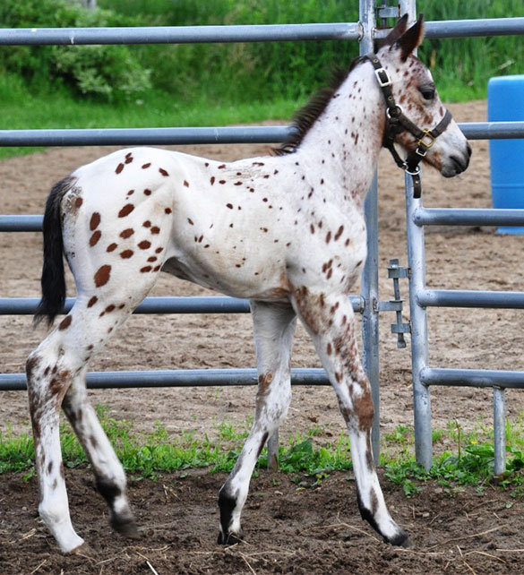 Z-Rock Gotta, un poulain Appaloosa vendu par le Loosa-Ranch