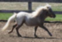 Saphira Hobby Mini Ranch, jument Miniature Appaloosa du Loosa-Ranch