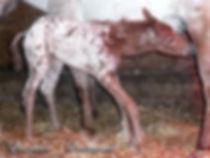 Wapiti Dance For You, un poulain Appaloosa décédé au Loosa-Ranch