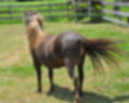 Miss Dawn Image Jimmy, jument miniature Appaloosa du Loosa-Ranch