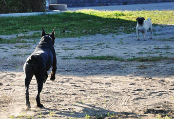 Stella et son ami le Pug