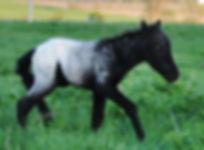 Loosa-Ranch Poquito, un poulain Appaloosa Miniature àvendre au Loosa-Ranch