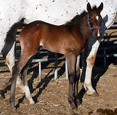 Wap Blast Misery, Pouliche Appaloosa Bay Roan Snow Flake vendue par le Loosa Ranch