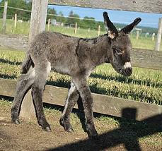 Petit Tonnerre, petit ânon né au Loosa-Ranch