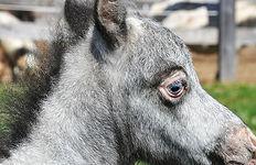 Loosa-Ranch Spike poulain Appaloosa Miniature à vendre au Loosa-Ranch