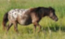 Miss Jetta Jimmy, jument Miniature Appaloosa du Loosa-Ranch