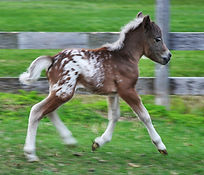 Loosa-Ranch Nikita, pouliche appaloosa miniature née au Loosa-Ranch en 2017