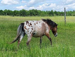 Loosa-Ranch Sweet Africa, jument miniature appaloosa du Loosa-Ranch