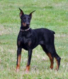Loosa-Ranch Jay-Z, femelle Doberman Pinscher reproductrice du Loosa-Ranch