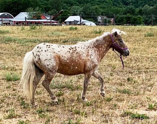 Landry Farm Little Queen, jument appaloosa miniature du Loosa-Ranch