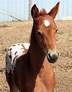 Apalou, poulain Appalosa vendu par le Loosa Ranch