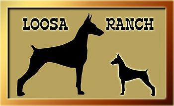 Vente de chiens Doberman Pinscher avec pedigree et enregistrement