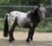 Santschi Minis Twist, étalon appaloosa miniature du Loosa-Ranch